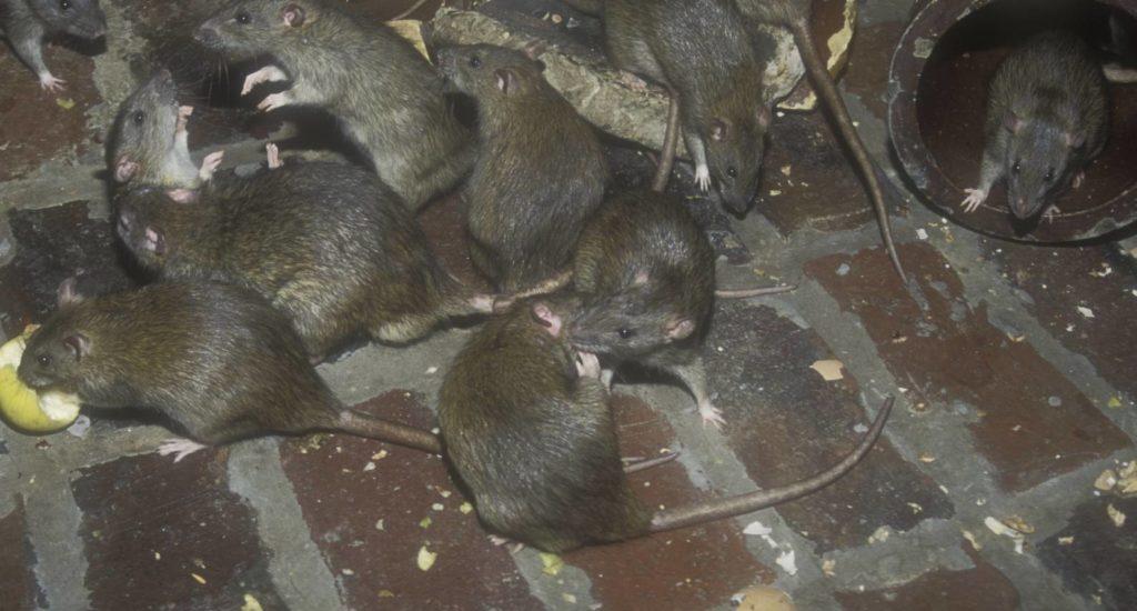 уничтожение крыс в Советском